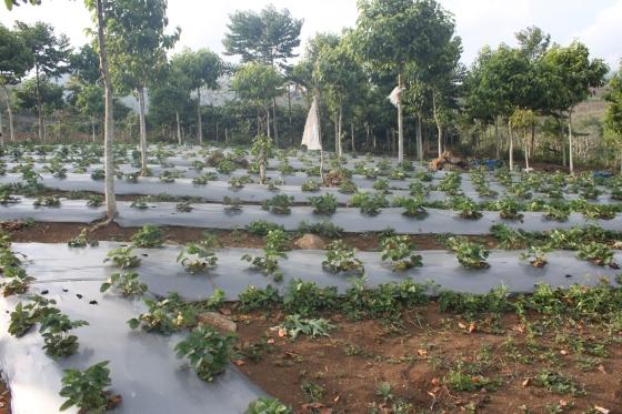 kebun strawberinya. rapi kan..