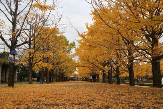 Ginkgo Avenue - Showa Kinen Park Tachikawa